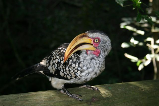 Billy the Yellowbilled Hornbill